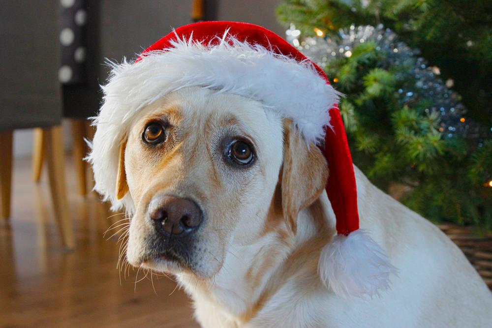 Lo que debes saber para disfrazar a tu mascota en navidad