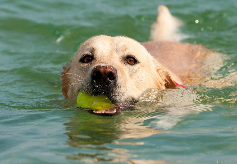 Beneficios de la natación para perros