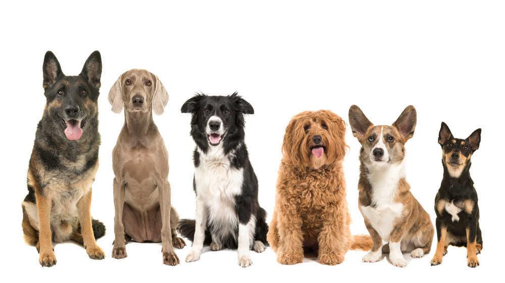 Las mejores razas de perros para vivir en ciudad