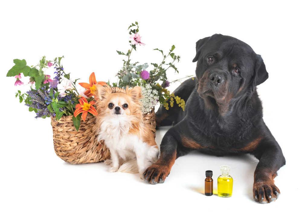 El aceite de oliva es bueno para los perros
